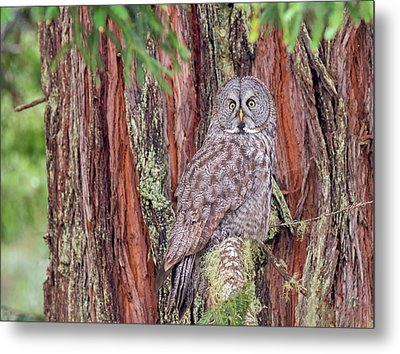 Great Grey Owl In A Giant Redwood Metal Print by Loree Johnson