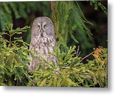 Great Grey Owl Visits The Redwoods Metal Print by Loree Johnson