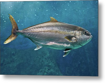 Greater Amberjack Metal Print by Stavros Markopoulos