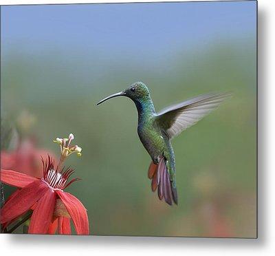 Green Breasted Mango Hummingbird Male Metal Print by Tim Fitzharris