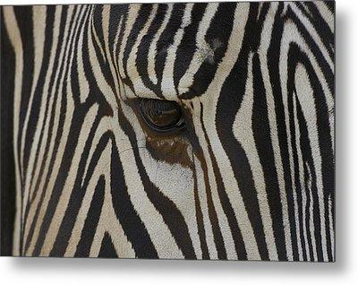 Grevys Zebra Equus Grevyi Close Metal Print by Zssd