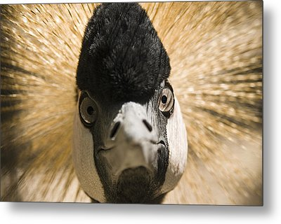 Grey Crowned Crane Metal Print by Chad Davis