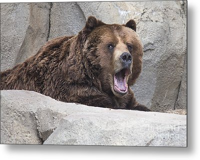 Grizzly Bear Metal Print by Twenty Two North Photography