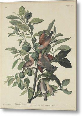 Ground Dove Metal Print by John James Audubon