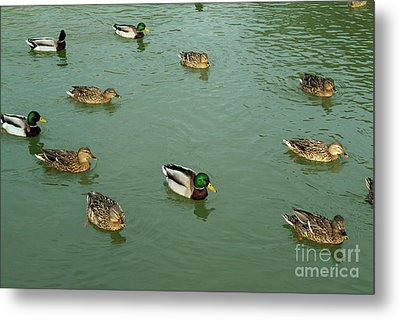 Group Of Male And Female Ducks On The Water Metal Print by Sami Sarkis