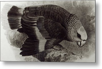 Guilding's Amazon Parrot,  Metal Print by English School