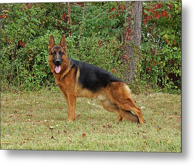 Handsome Rocco Metal Print by Sandy Keeton