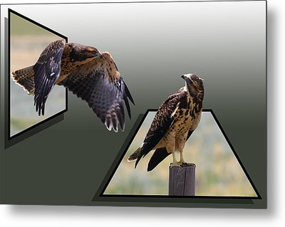 Hawks Metal Print by Shane Bechler