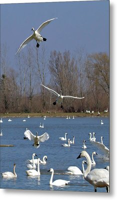 Here Come The Swans Metal Print by Bill Lindsay