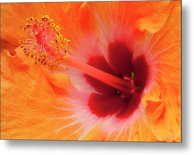 Hibiscus Close-up Metal Print by Andrew Soundarajan