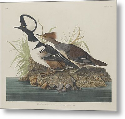 Hooded Merganser Metal Print by John James Audubon