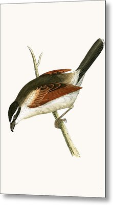 Hooded Shrike Metal Print by English School