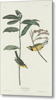 Hooded Warbler Metal Print by John James Audubon