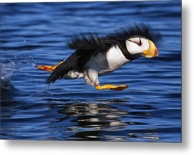 Horned Puffin  Fratercula Corniculata Metal Print by Marion Owen