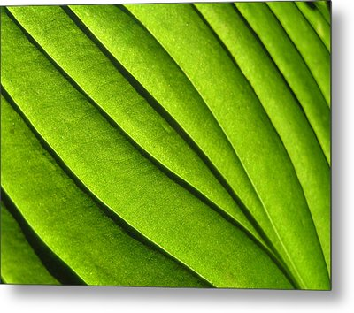 Hosta Leaf 2 Metal Print by Dustin K Ryan