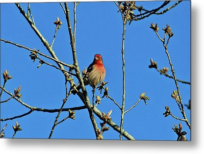 House Finch Male Metal Print by Cynthia Guinn