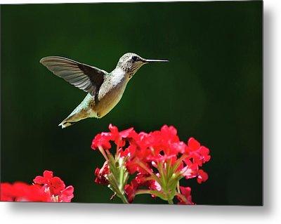 Hovering Hummingbird Metal Print by Christina Rollo