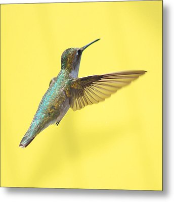 Hummingbird On Yellow 3 Metal Print by Robert  Suits Jr