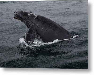 Humpback Whale Breach Metal Print by Tory Kallman