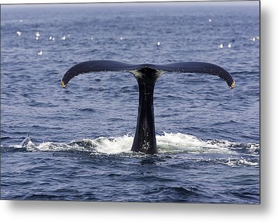 Humpback Whale Swimming Metal Print by Tim Laman