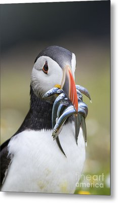 Hungry Puffin Metal Print by Tim Gainey