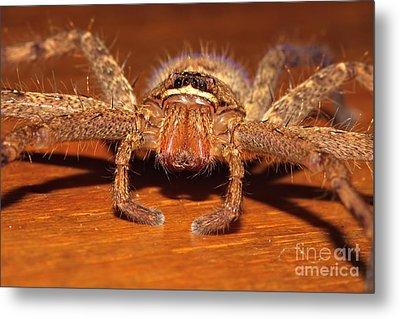 Huntsman Spider Metal Print by Joerg Lingnau