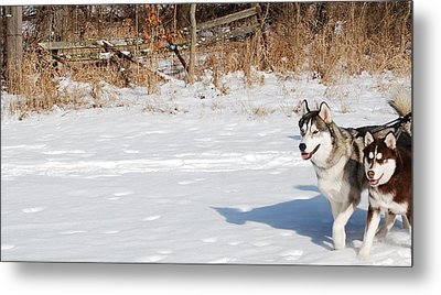 Huskies In Heaven Metal Print by Peter  McIntosh
