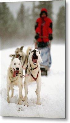 Husky Dog Racing Metal Print by Axiom Photographic