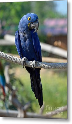 Hyacinth Macaw Metal Print by George Atsametakis