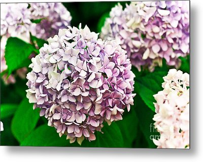 Hydrangea Purple Metal Print by Ryan Kelly