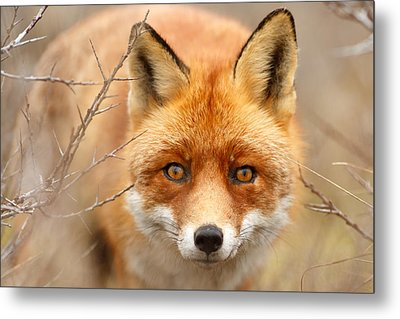 I See You - Red Fox Spotting Me Metal Print by Roeselien Raimond