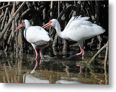 Ibis Argument Metal Print by Alan Lenk