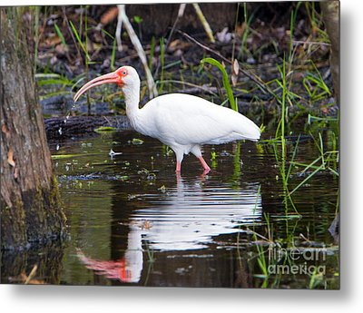 Ibis Drink Metal Print by Mike Dawson