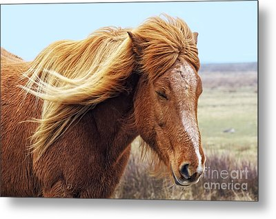 Iceland Horse In The Wind Metal Print by Angela Doelling AD DESIGN Photo and PhotoArt