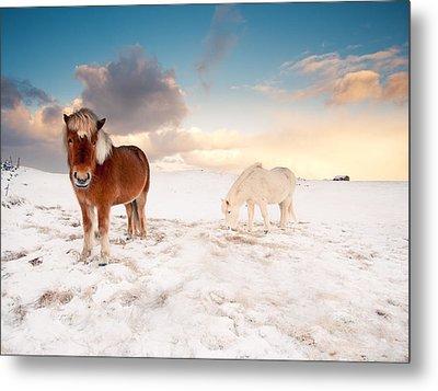 Icelandic Horses On Winter Day Metal Print by Ingólfur Bjargmundsson