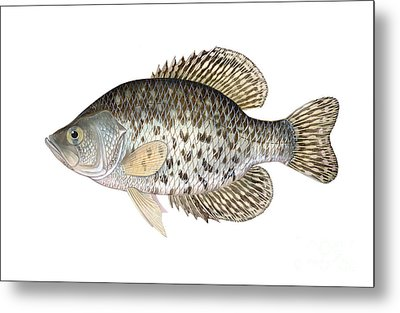Illustration Of A Black Crappie Metal Print by Carlyn Iverson
