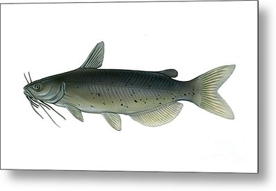 Illustration Of A Channel Catfish Metal Print by Carlyn Iverson