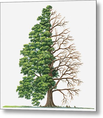 Illustration Showing Shape Of Deciduous Taxodium Distichum (bald-cypress, Swamp Cypress) Tree With Green Summer Foliage And Bare Winter Branches Metal Print by Sue Oldfield