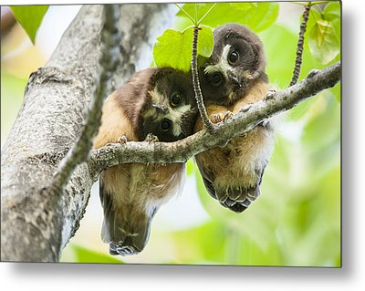 Impossibly Cute Owl Fledglings Metal Print by Tim Grams