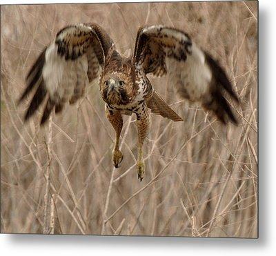 Inbound Red Tail Hawk Metal Print by Matt MacMillan