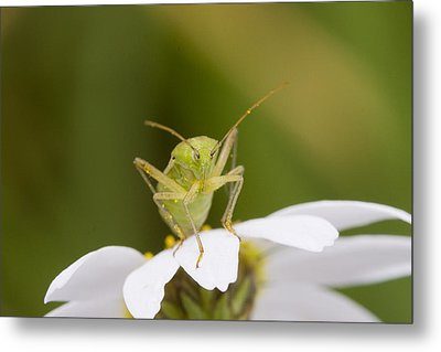 Insect Metal Print by Andre Goncalves