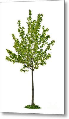 Isolated Young Maple Tree Metal Print by Elena Elisseeva