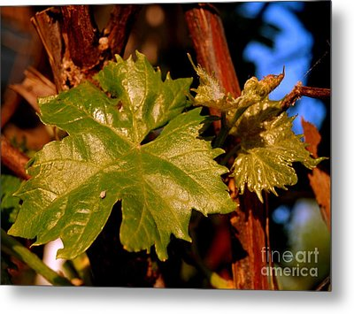 Ivy Leaf Metal Print by Michael Canning