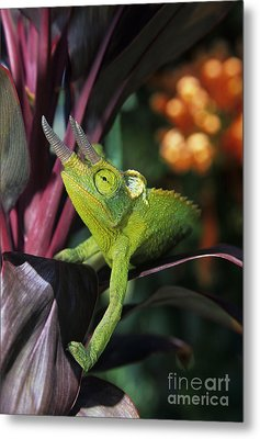 Jacksons Chameleon On Leaf Metal Print by Dave Fleetham - Printscapes