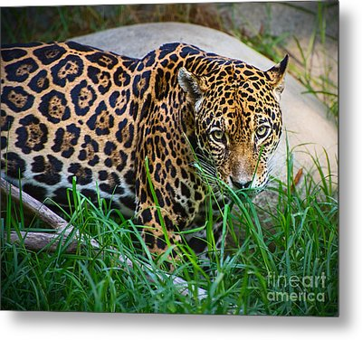 Jaguar In Grass Metal Print by Jamie Pham