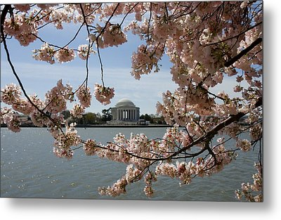 Jefferson Memorial Framed By Cherry Blossoms Metal Print by Brendan Reals
