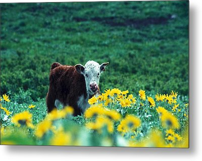 Juvenile White-faced Hereford Metal Print by Paul Nicklen