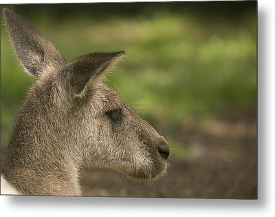 Kangaroo Metal Print by Michel DesRoches