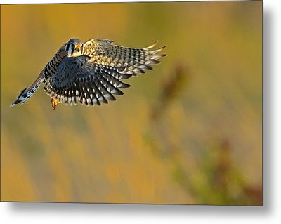 Kestrel Takes Flight Metal Print by William Jobes