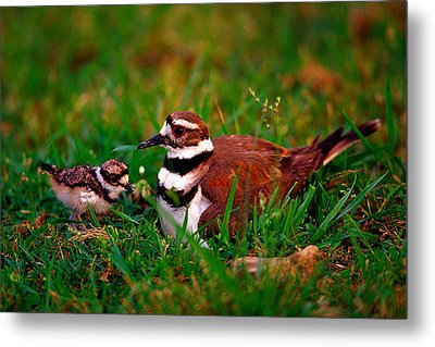 Killdeer And Young Metal Print by Denny Bingaman
